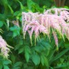Astilbe Enhanced