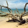 Barbados Beach with Dead Tree