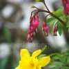Bleeding Hearts and Daffodil
