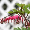 Bleeding Hearts Enhanced