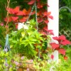 Coleus Flower and Pole Enhanced
