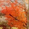 Orange Fall Tree
