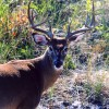 Fire Island Deer Closeup