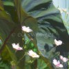 Gray Elephant Ear Leaf and Small Pink Flowers Enhanced