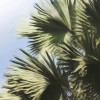 Gray Palm Fronds - Enhanced