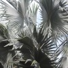 Gray Palm Fronds 2