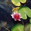 Lotus Flower and Lily Pads Enhanced