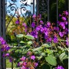 Old Westbury Gardens Gate and Purple Flowers