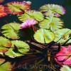 Old Westbury Gardens Lily Pads 1