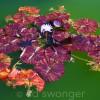 Old Westbury Gardens Lily Pads 2