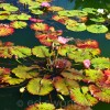 Old Westbury Gardens Lily Pads 3