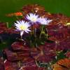 Old Westbury Gardens Lily Pads 5