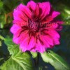 Purple Dahlia Enhanced