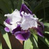 Purple-White Iris