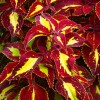 Purple Yellow Coleus