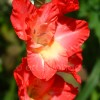 Red Gladiola Closeup