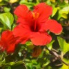 Red Hibiscus Enhanced
