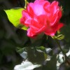 Solitary Rose - Enhanced