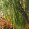 Weeping Willow and Fall Trees