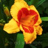 Yellow-Orange Lily