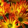 Yellow-orange Mums