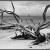 Barbados Beach and Dead Tree - Black & White