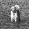 Golden Retriever - Black & White