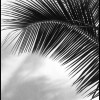 Palm Frond - Black & White