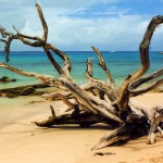 Barbados Beach and Dead Tree Enhanced