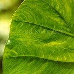 Elephant Ear Leaf Closeup