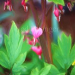 Bleeding Heart Enhanced