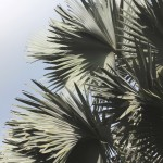Gray Palm Fronds 1