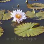 Lotus Flower #2