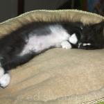 Louie in Cat Bed #2