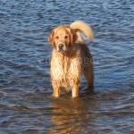 Mack the Golden Retriever