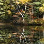 NH Tree Reflection