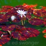 Old Westbury Gardens Lily Pads 6