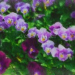 Pansies a la Monet Enhanced