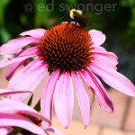 Pink Daisy and Bumble Bee