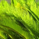 Plant Fronds