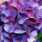 Purple Hydrangea Detail