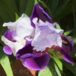 Purple-White Iris - Enhanced