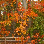 Rail Fence and Fall Leaves