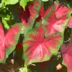 Red Leaf Plant Enhanced