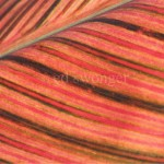 Red Striated Leaf