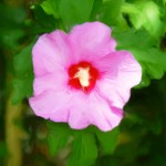 Rose of Sharon - Enhanced