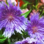 Stokes Aster - Enhanced