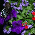 Swallowtail Butterfly 3