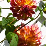 Yellow-pink Dahlias