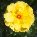 Yellow Rose Enhanced